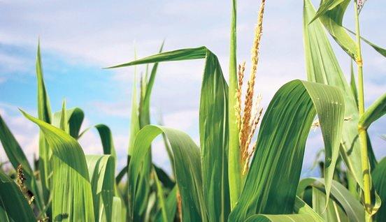 content-corn