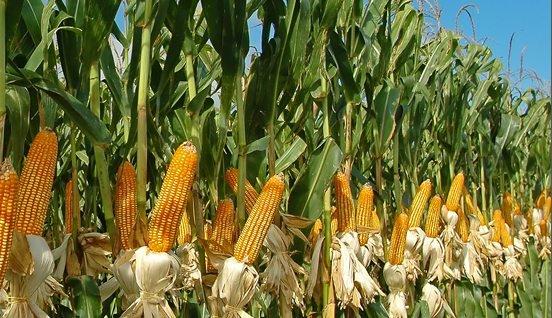 content-cornstalks